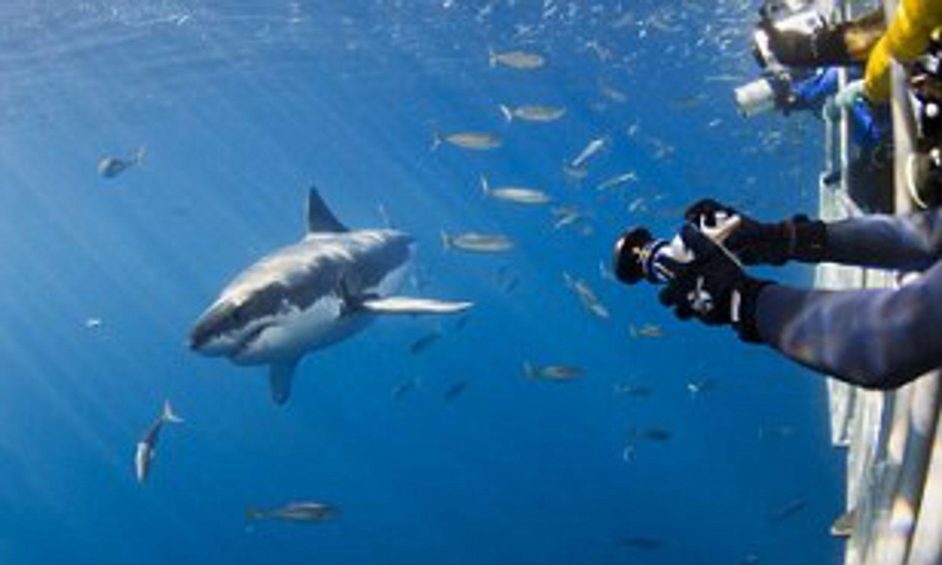 Дайвинг с большой белой акулой на острове Гваделупе